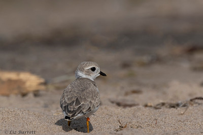 0U2A1968_Piping Plover