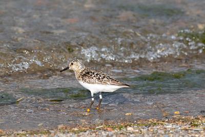 0U2A1865 Toronto Shorebirds