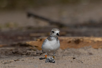 0U2A1957_Piping Plover