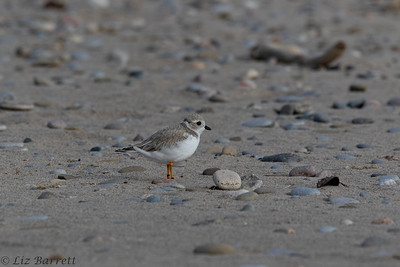 0U2A1779_Piping Plover