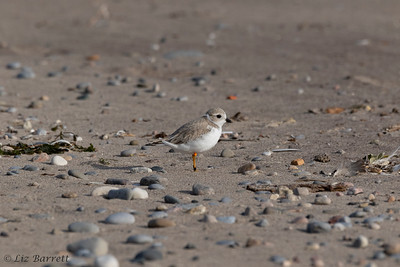 0U2A1775_Piping Plover