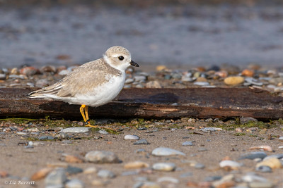 0U2A1819 Piping Plovers
