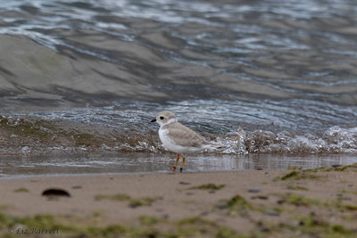 0U2A1922_piping Plover