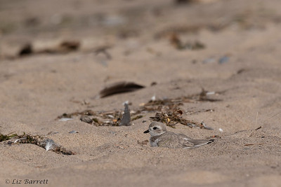 0U2A2010_Piping Plover