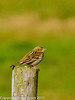 04 March 2011. Meadow Pipit at Southmoor. Copyright Peter Drury 2011