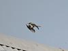 Pied Wagtail (Motacilla alba). Copyright 2009 Peter Drury