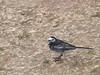 Pied Wagtail (Motacilla alba). Copyright 2009 Peter Drury<br /> Budds Farm Lagoon, Southmoor, Langstone Harbour