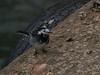 Pied Wagtail (Motacilla alba). Copyright 2009 Peter Drury<br /> Mevagissey, Cornwall