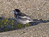 26 Nov 2010 - Pied Wagtail at Broadmarsh. Copyright Peter Drury 2010. From RAW file<br /> Part of E5 Tests<br /> E5 + Sigma 50-500, ISO 200, f7.1, Aperture Priority