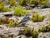 Pied Wagtail (Motacilla alba). Copyright 2009 Peter Drury<br /> Oysterbeds, North Hayling Island