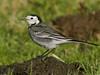 Pied Wagtail (Motacilla alba). Copyright 2009 Peter Drury<br /> Fareham, Hampshire