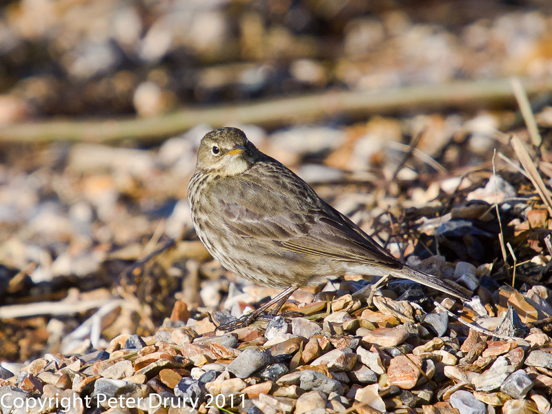 16 February 2011. Rock Pipit on Langstone Harbour shoreline, Southmoor. Copyright Peter Drury 2011.<br /> A small flock was searching the seaweed as the tide receded. Obviously finding food stranded by the outgoing tide.