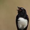 Willie Wagtail calling