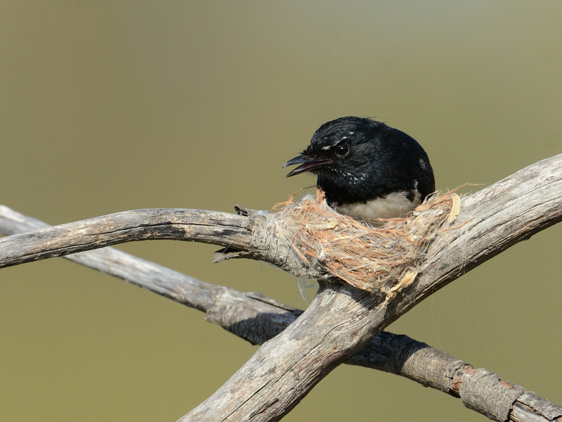 Willy Wagtail and nest