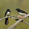 Willie Wagtails and start of nest.