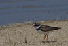 Semipalmated Plover (b1752)