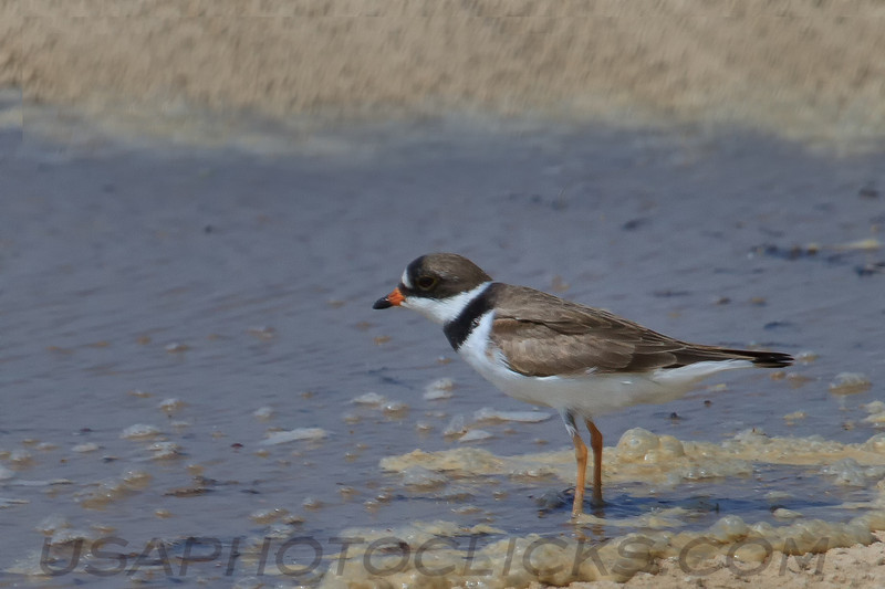 Semipalmated Plover (b1751)