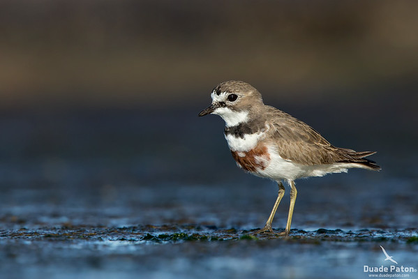 Double-banded Plover - Male - Breeding