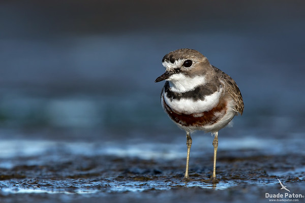 Double-banded Plover - Male Breeding