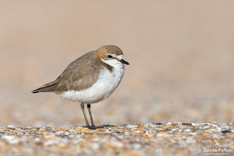 Red-capped Plover - Female