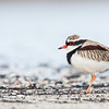 Black-fronted Dotterel ©David Stowe-4150