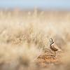 Inland Dotterel ©David Stowe-0781