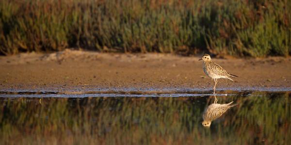 D Stowe_Pacific Golden Plover-0696