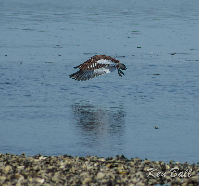 American oystercatcher: Haemaus palliatus, Connecticut, Milford Point