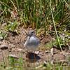 Diademed Sandpiper-Plover (Phegornis mitchellii)
