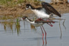 Black Necked Stilts Copulating