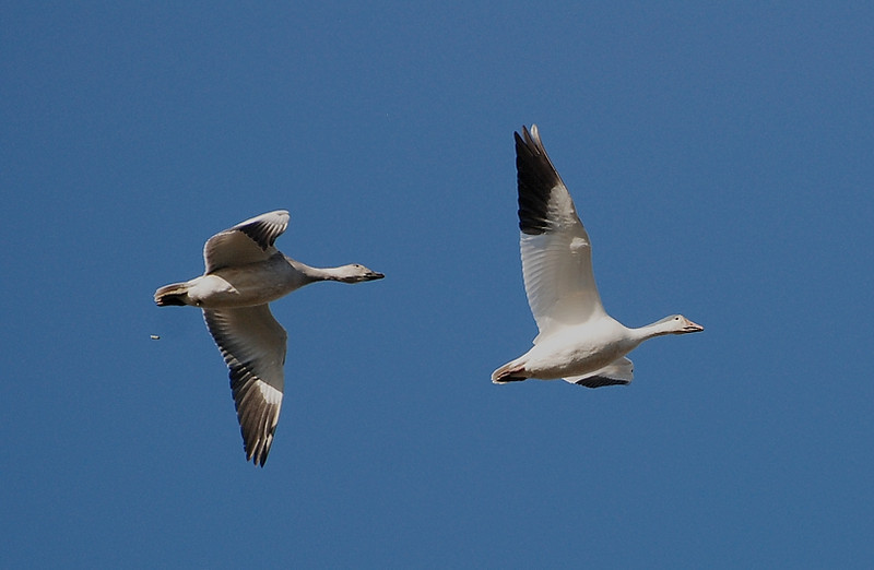 snow geese: bombing