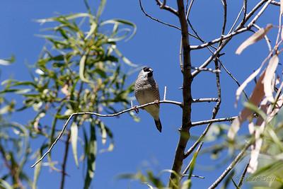 Plum-headed Finch