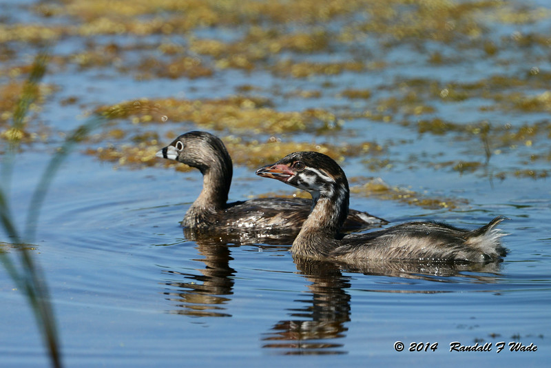Immature Pied-billed Grebe