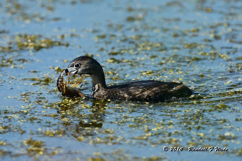 Pied-billed Grebe With Crayfish