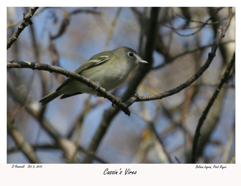 A close cousin of the Blue-headed Vireo.