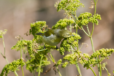 "Tennessee Warbler Nunes,""A"" Ranch, Point Reyes, CA November 15, 2012"