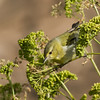"Tennessee Warbler<br /> Nunes,""A"" Ranch, Point Reyes, CA<br /> November 15, 2012"