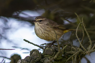 "Palm Warbler Mendoza,""B"" Ranch, Point Reyes, CA November 15, 2012"