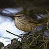 "Palm Warbler<br /> Mendoza,""B"" Ranch, Point Reyes, CA<br /> November 15, 2012"