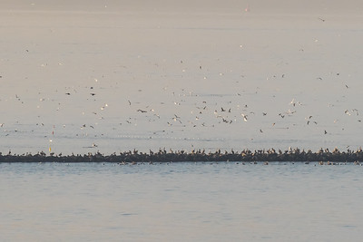 Birds feeding on spawning  Herring