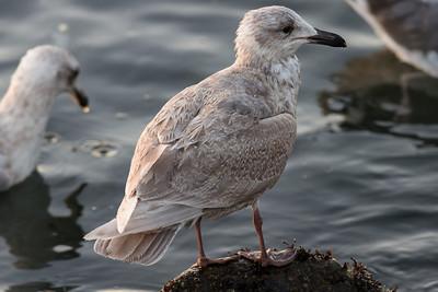 Gull-4