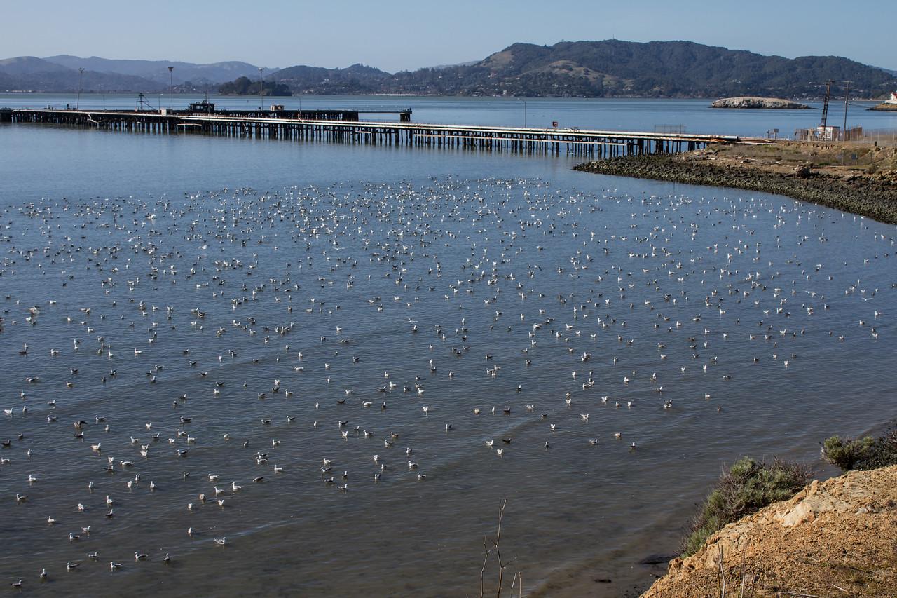 Gulls feeding on Herring eggs(?) Pt. Molate, Richmond, CA February 20. 2013