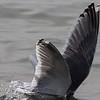 Slaty-backed Gull<br /> Ferry Point, Richmond, CA<br /> Feb 16, 2013