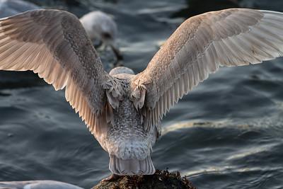 Gull-2