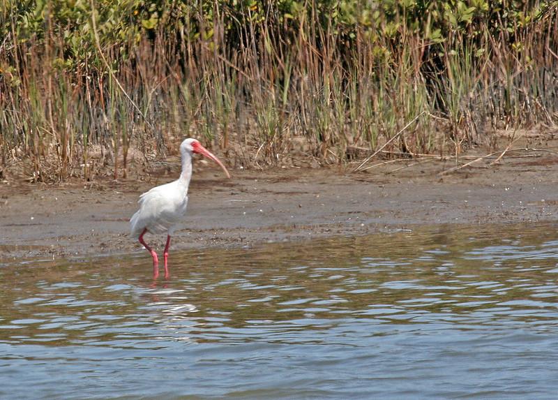 White  Ibis - Leonabelle Birding Center