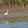 White  Ibis - Leonabelle Birding Center