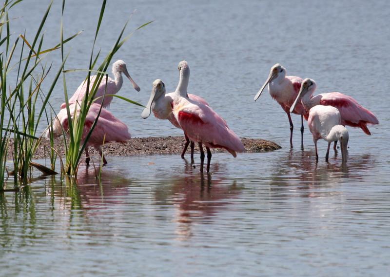 Roseate Spoonbill - Leonabelle Birding Center