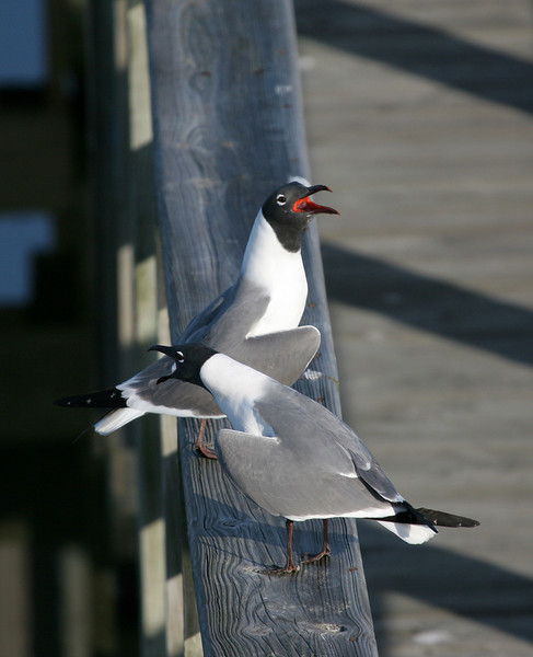 Laughing Gull - Leonabelle Turnbull Birding Center, Port Aransas