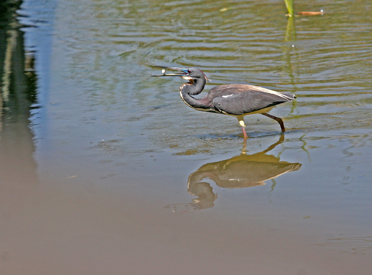 Tri-colored Heron - Paradise Pond. Friendly Tri-color Heron put on quite a show!!