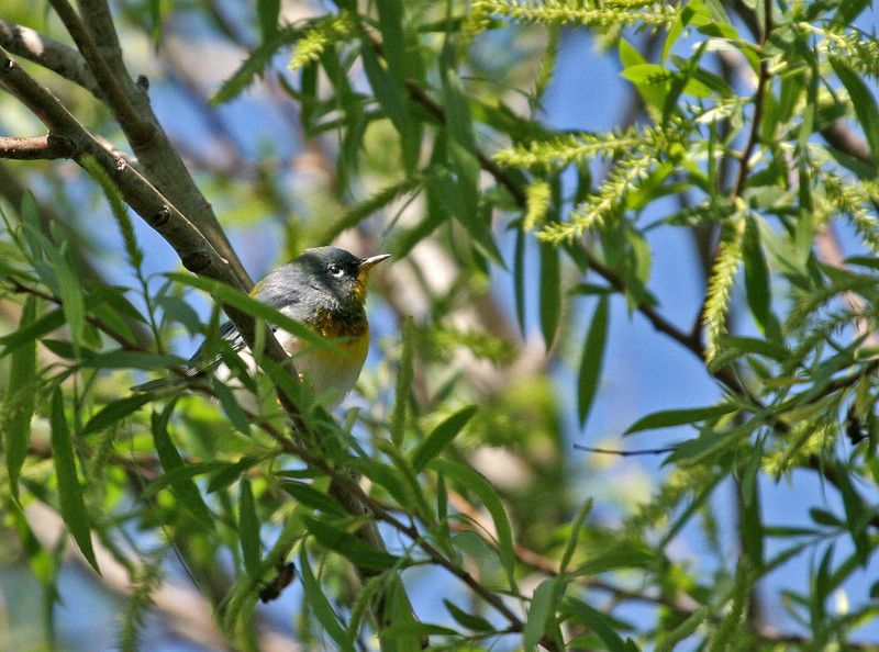 Northern Parula - Leonabelle Birding Center